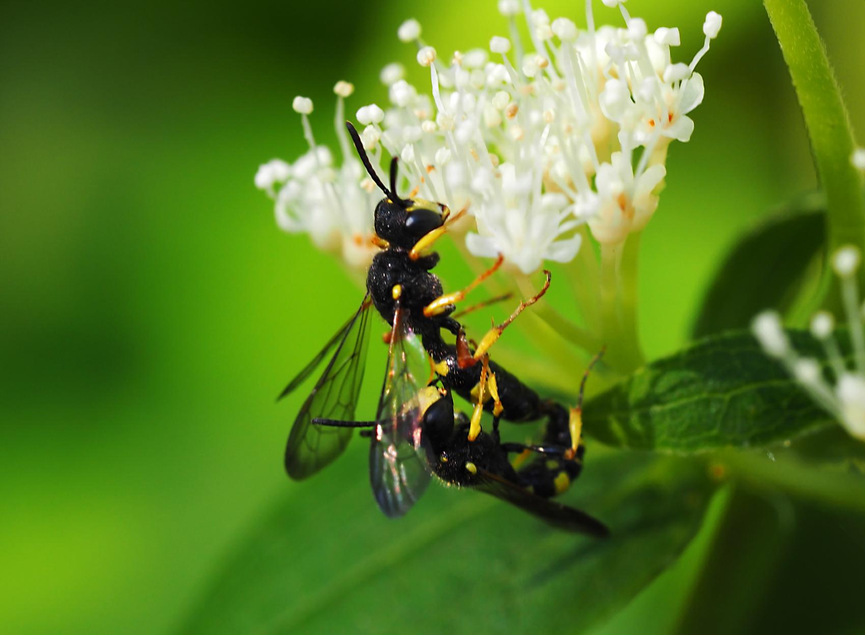 Bienenjagende Knotenwespe02 (Cerceris rybyensis)