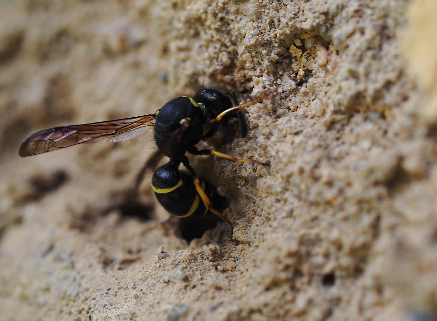 Bienenjagende Knotenwespe04 (Cerceris rybyensis)