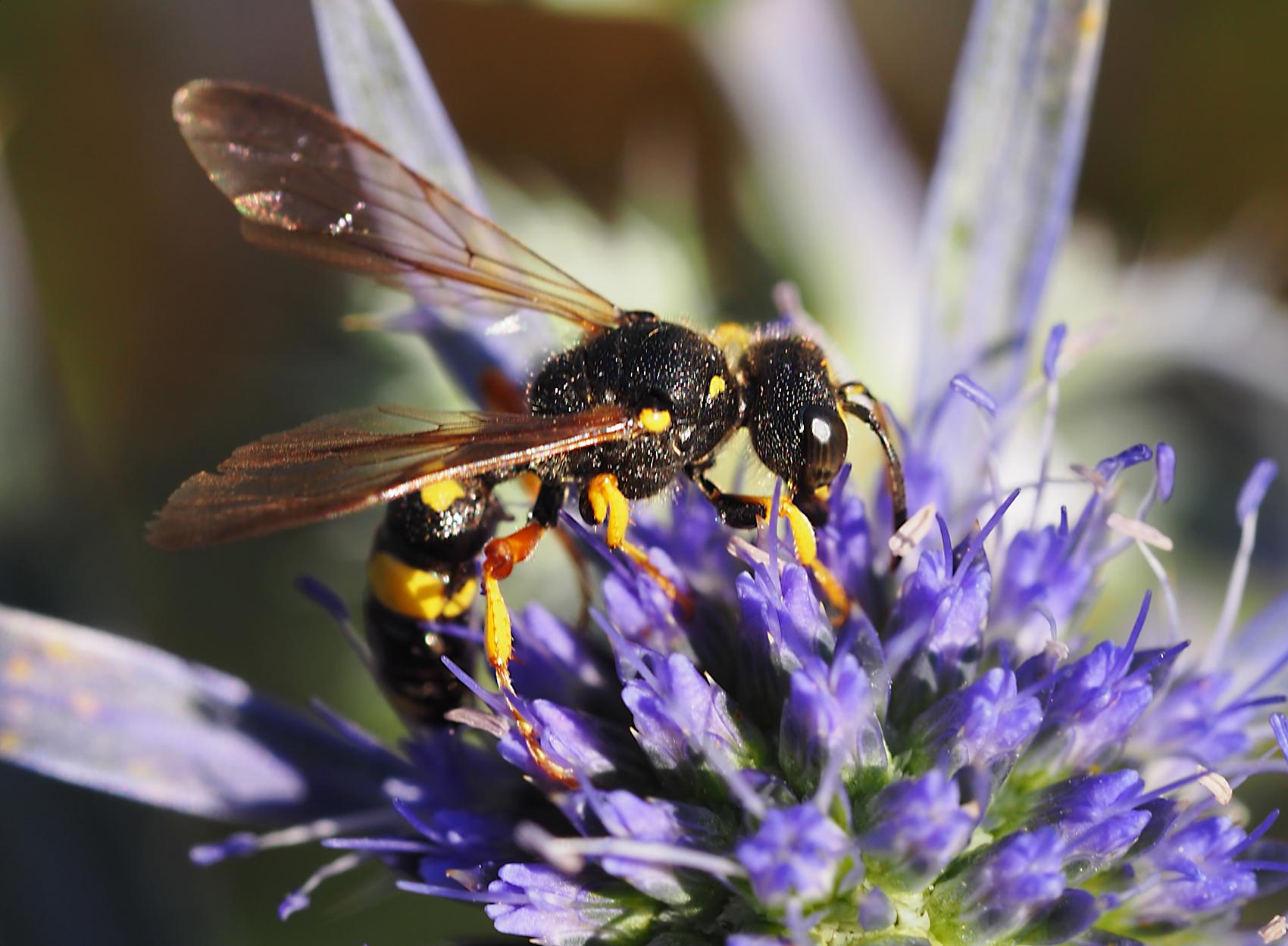 Bienenjagende Knotenwespe05 (Cerceris rybyensis)