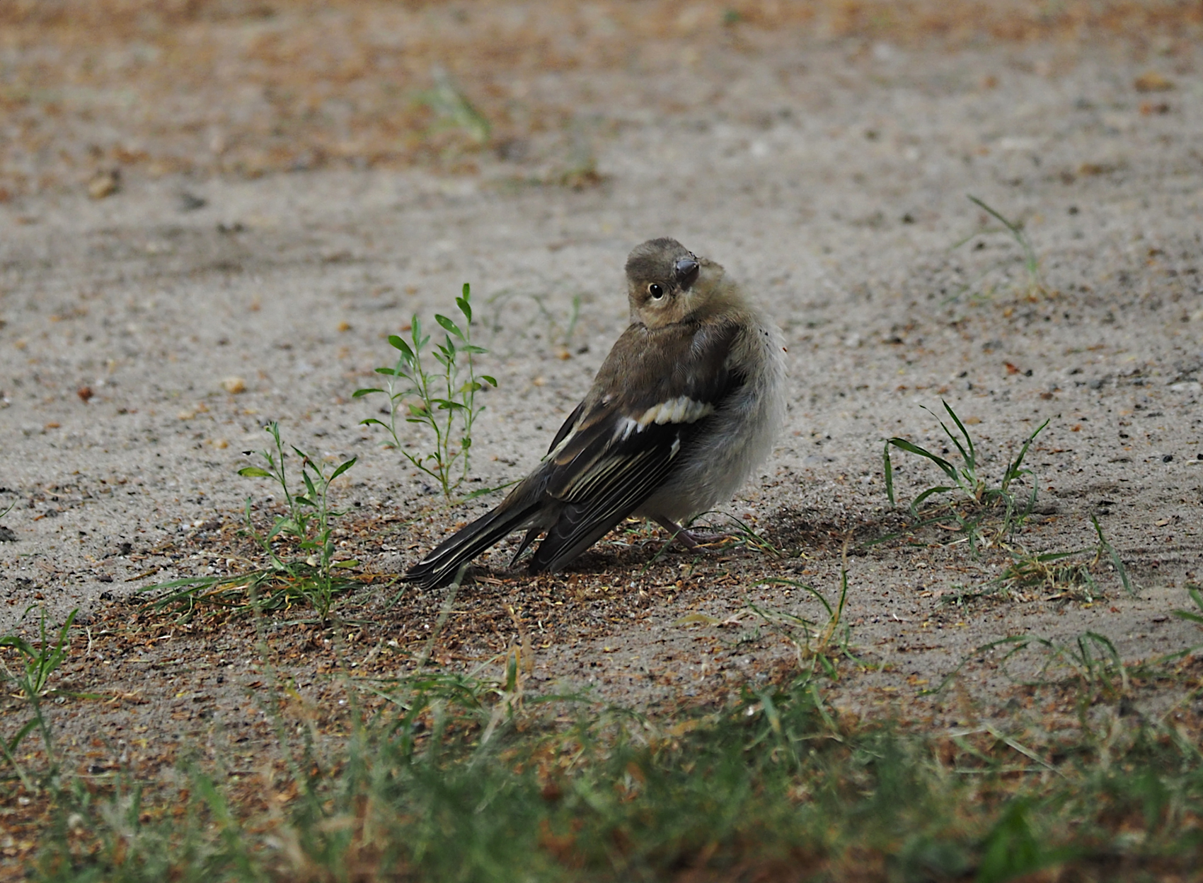 Buchfink juvenil01 (Fringilla coelebs)