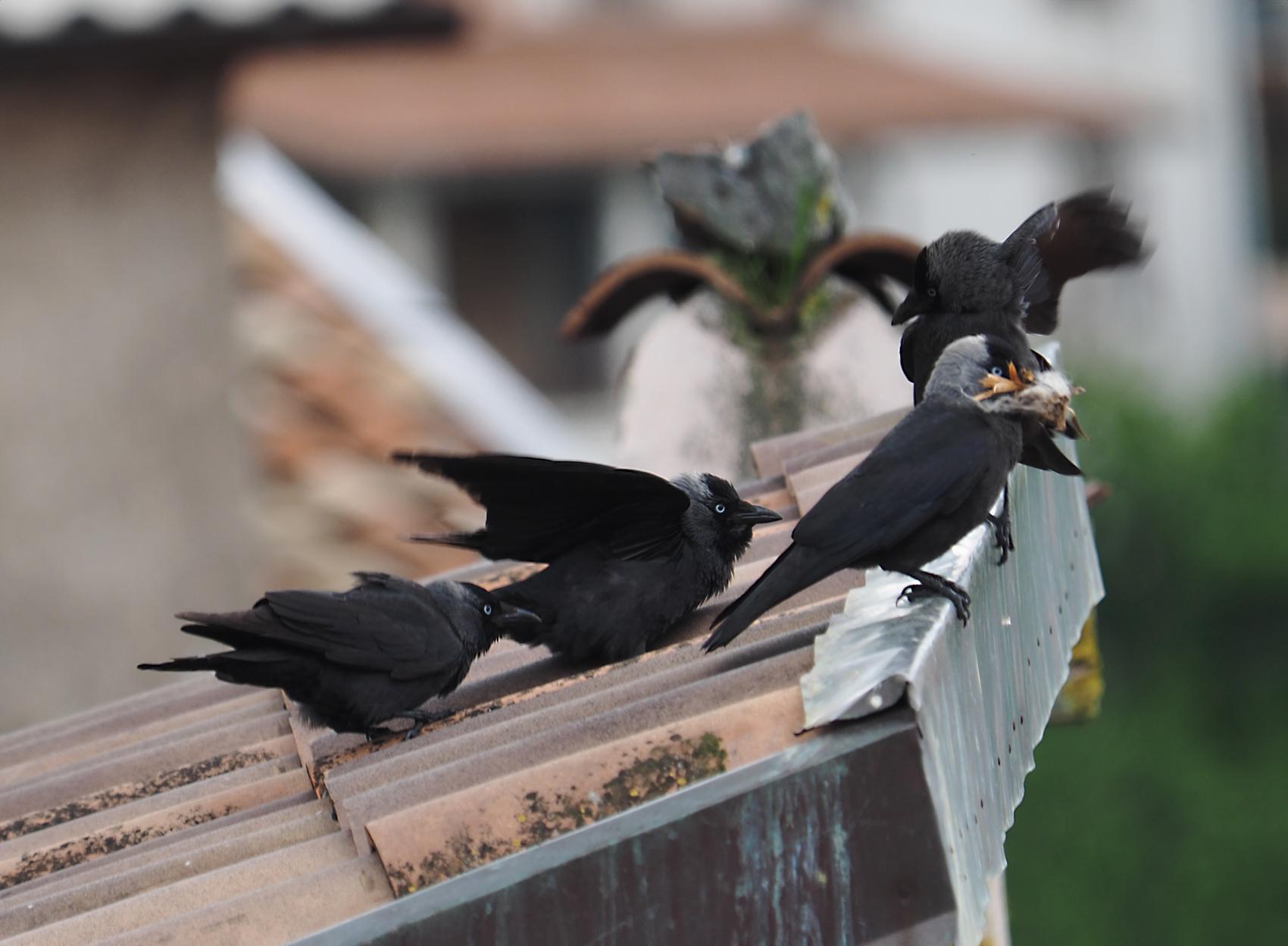 Dohle02 (Corvus monedula)