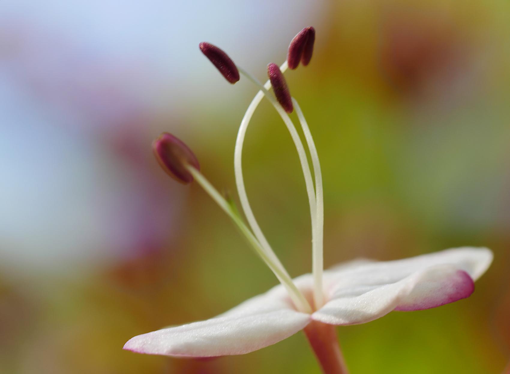 Japanischer Losbaum02 (Clerodendrum trichotomum)