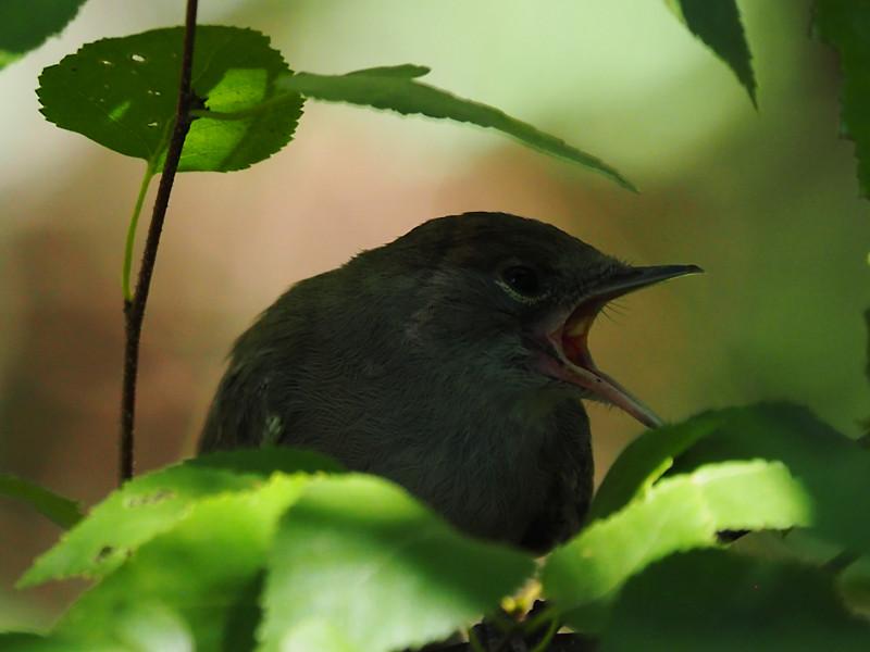 Moenchsgrasmuecke04 (Sylvia atricapilla)