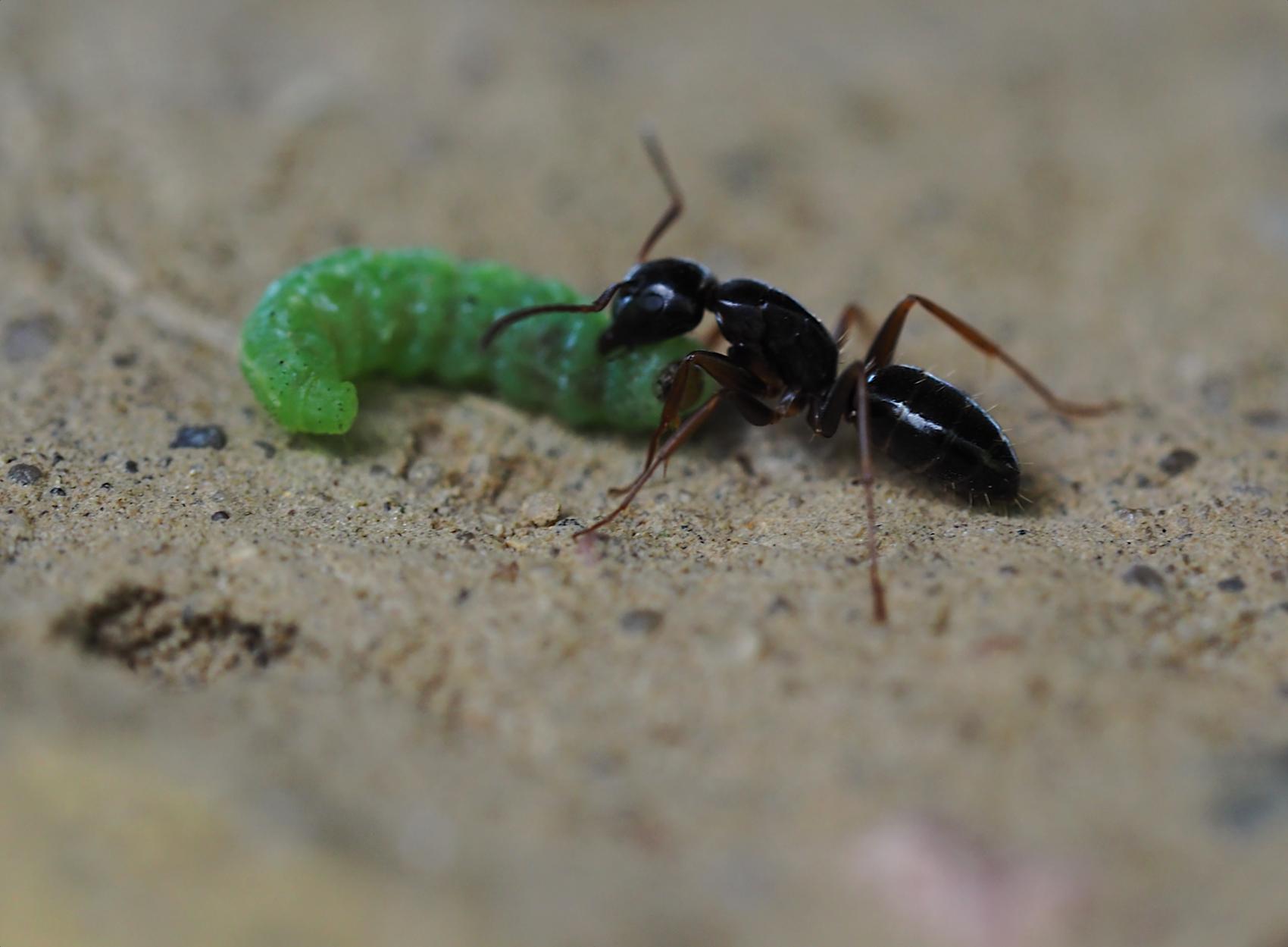 Schwarze Wegameise und gruene Raupe (Lasius niger)