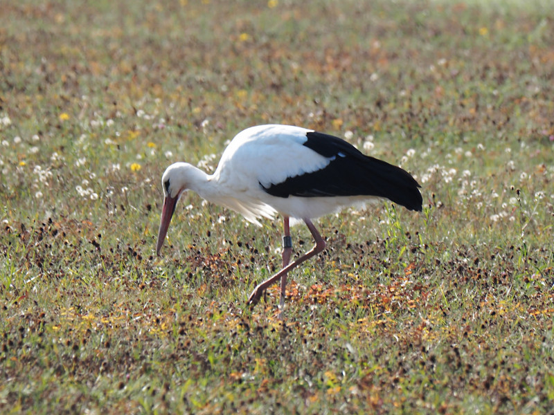 Weissstorch03 (Ciconia ciconia)