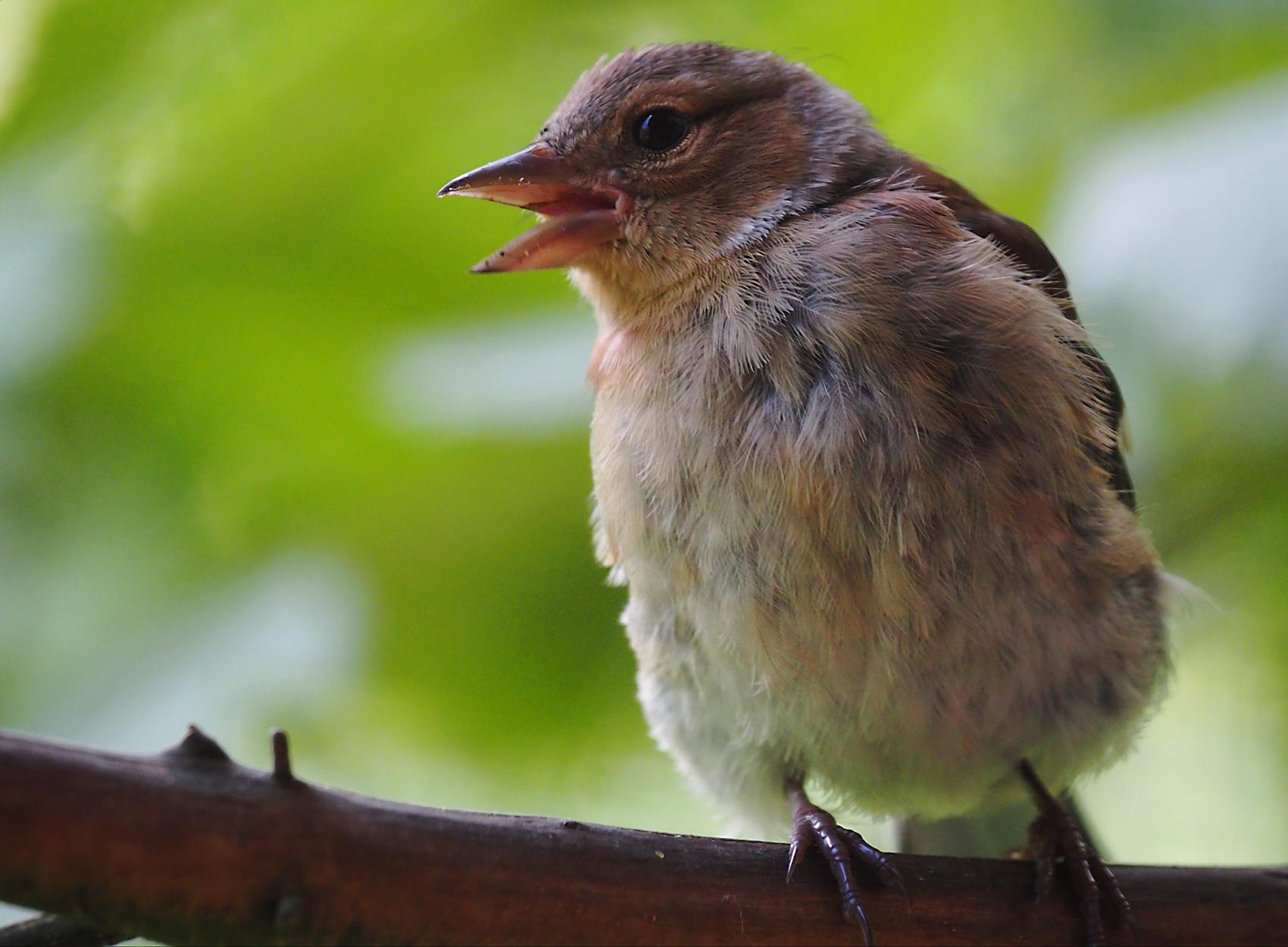 Buchfink juvenil02 (Fringilla coelebs)