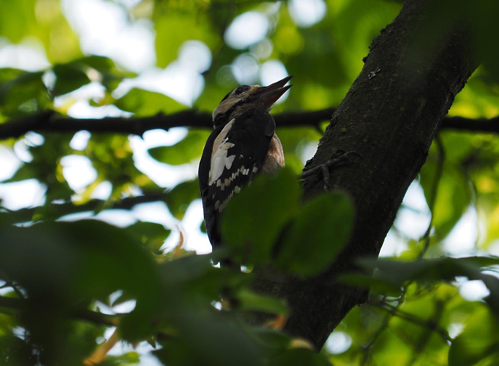 Buntspecht juvenil09 (Dendrocopus major)