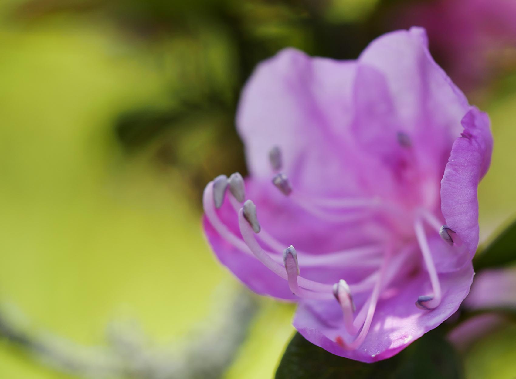 Daurischer Rhododendron (Rhododendrum dauricum)