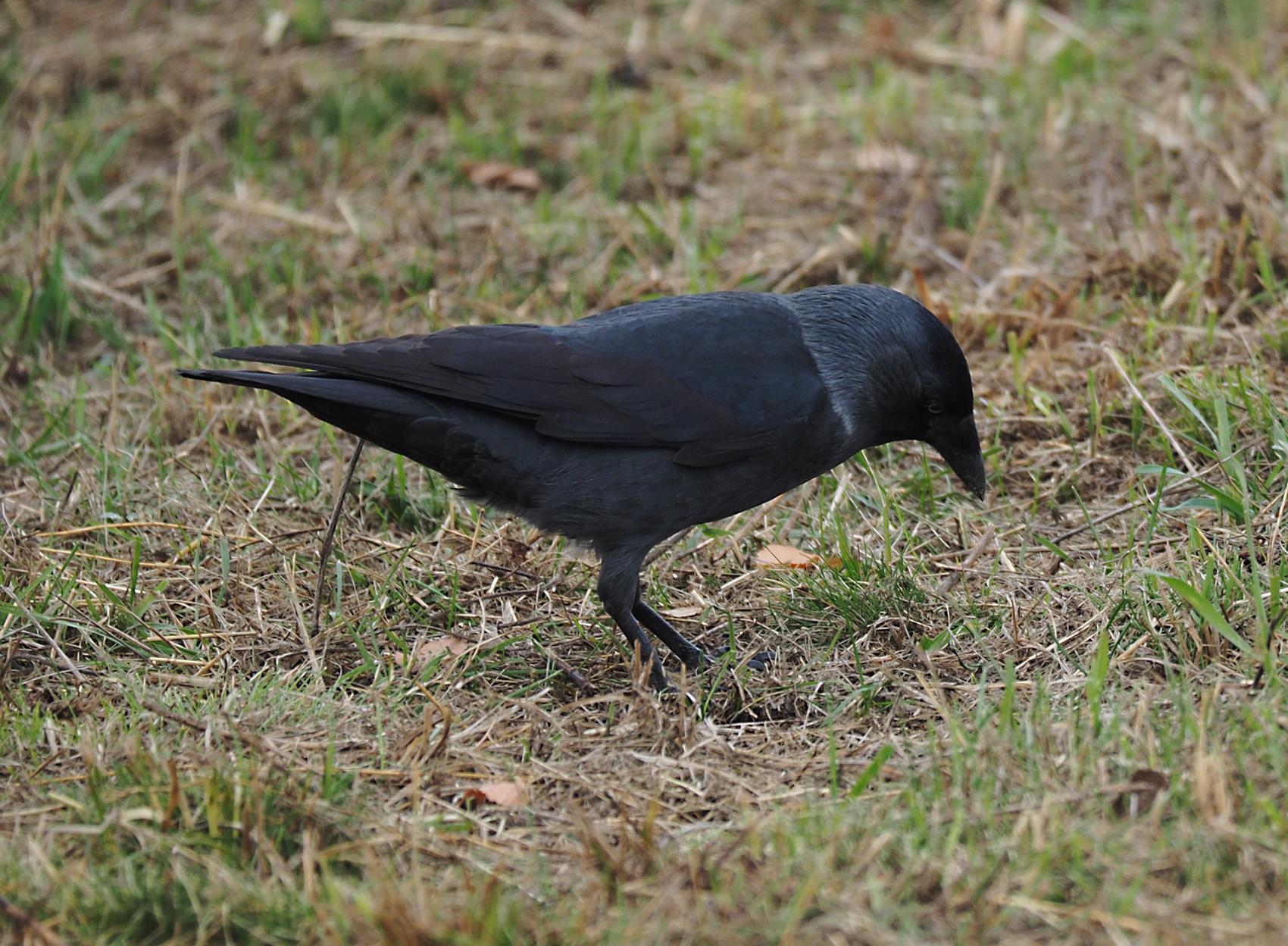 Dohle06 (Corvus monedula)