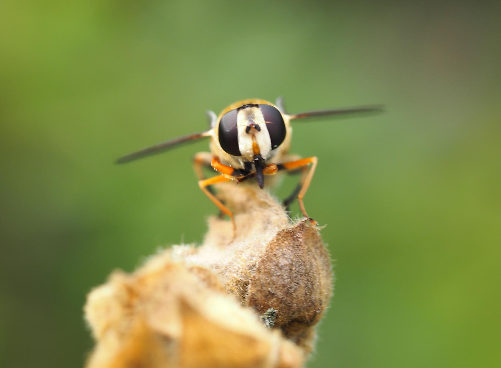 Gemeine Sumpf-Schwebfliege03 (Helophilus pendulus)