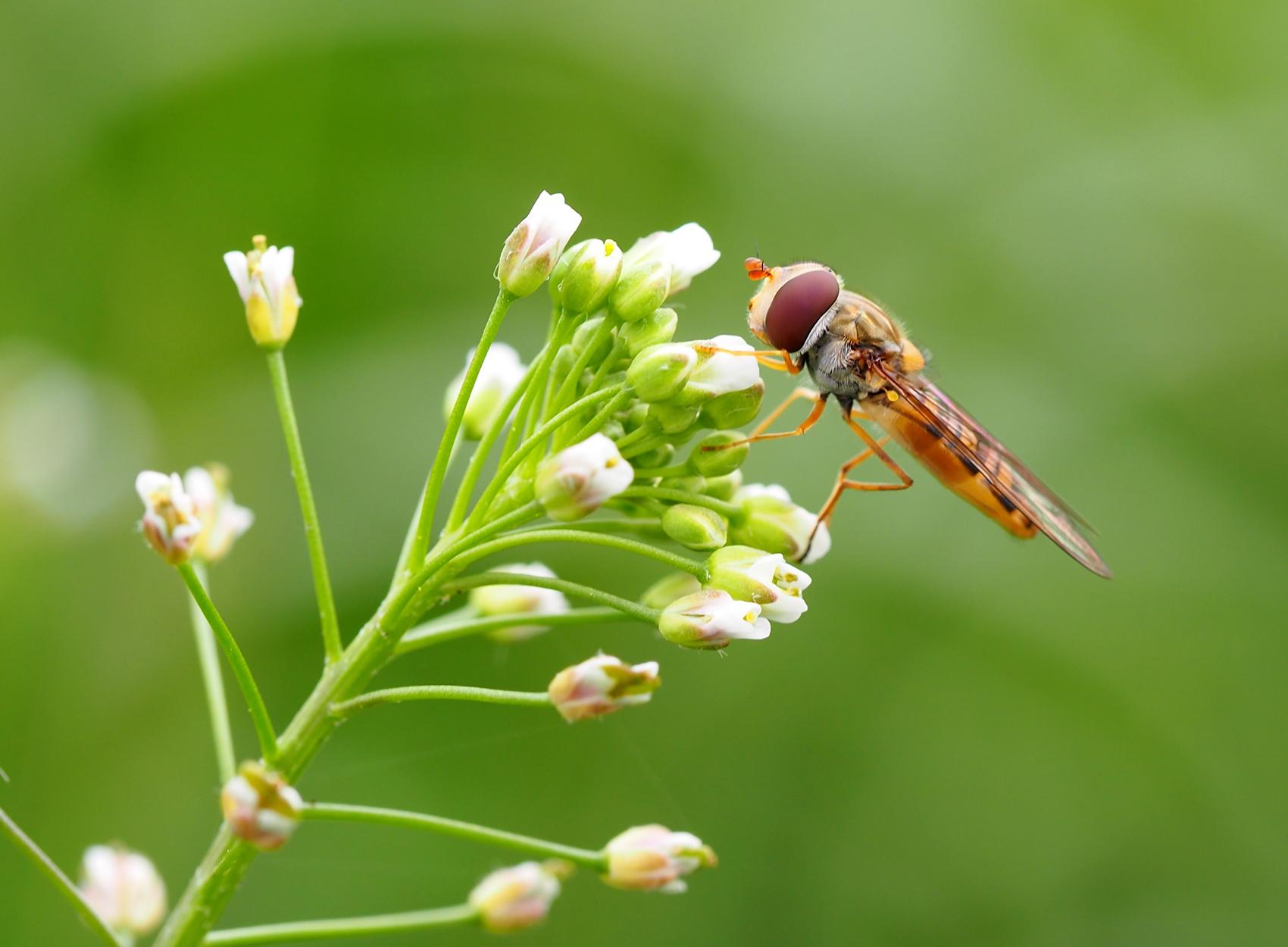 Gemeine Winter-Schwebfliege01 (Episyrphus balteatus)