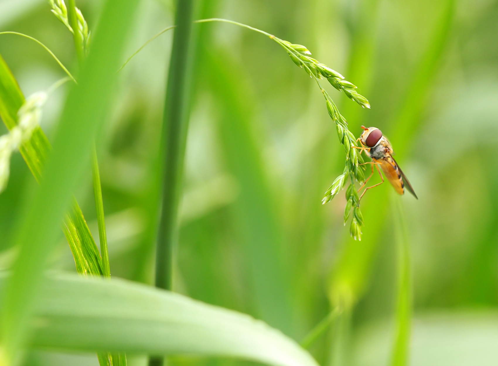 Gemeine Winter-Schwebfliege03 (Episyrphus balteatus)