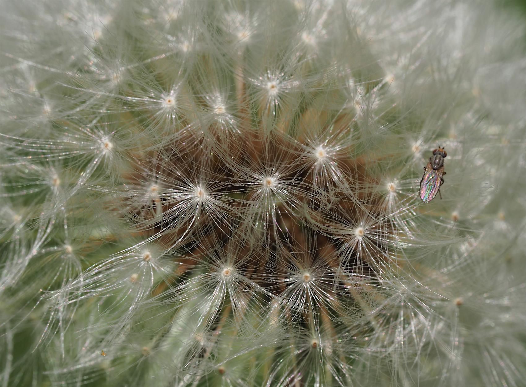 Gewoehnlicher Loewenzahn01 (Taraxacum sect. Ruderalia)