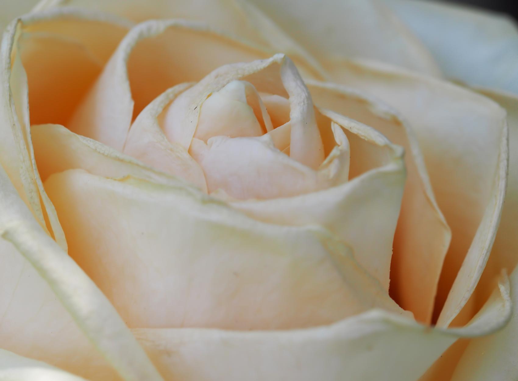 Rose (Gloria Dei)