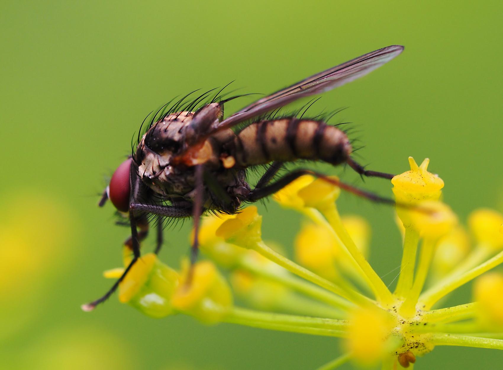 Blumenfliege (Hydrophoria lancifer)