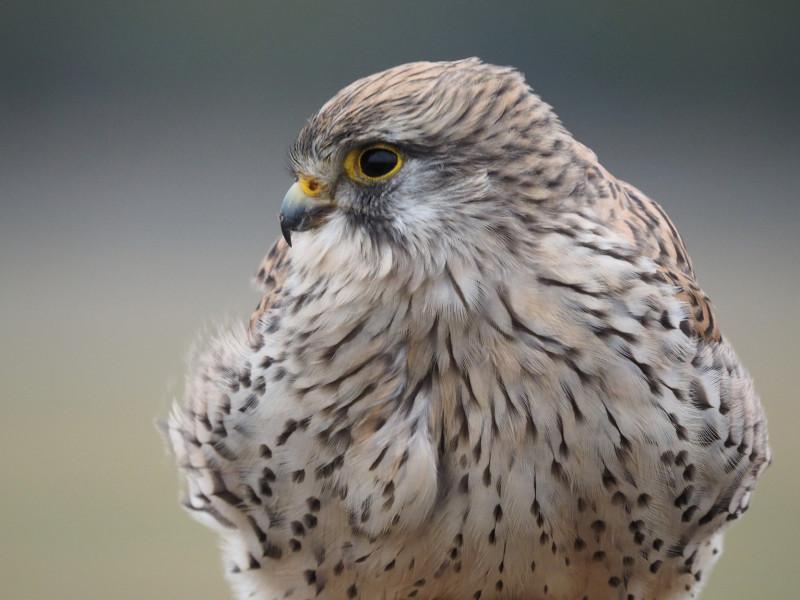 Turmfalke25a (Falco tinnunculus)