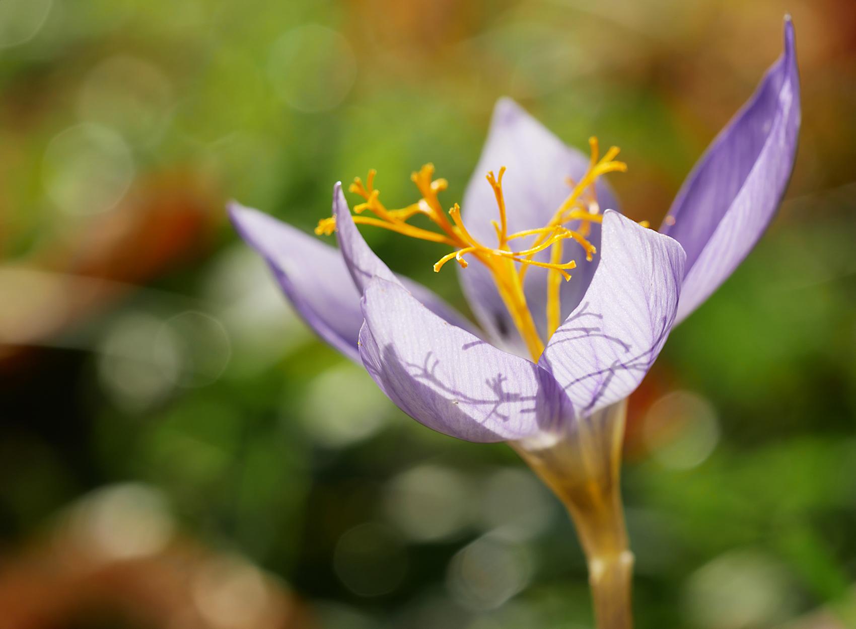 Pracht-Herbst-Krokus03 (Crocus speciosus)