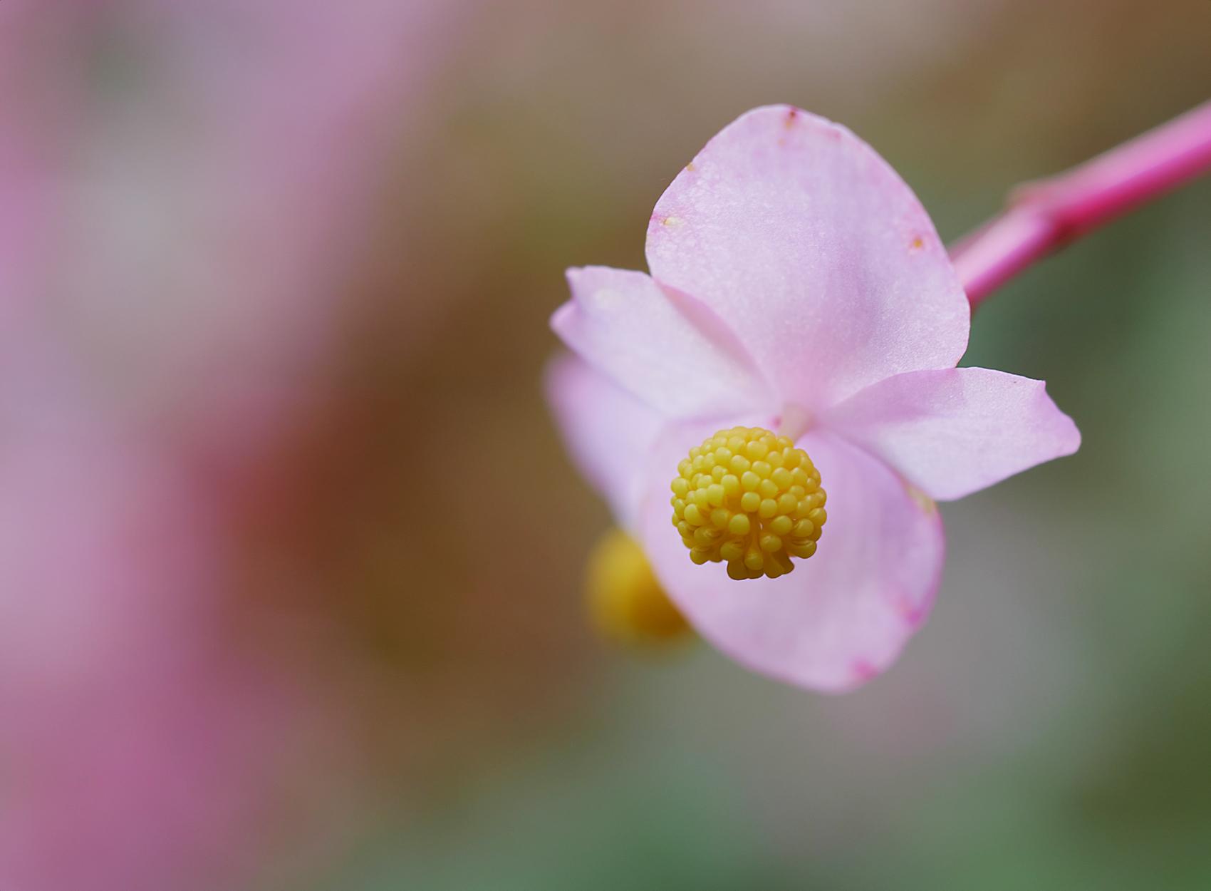 Winterharte Begonie02 (Begonia grandis)