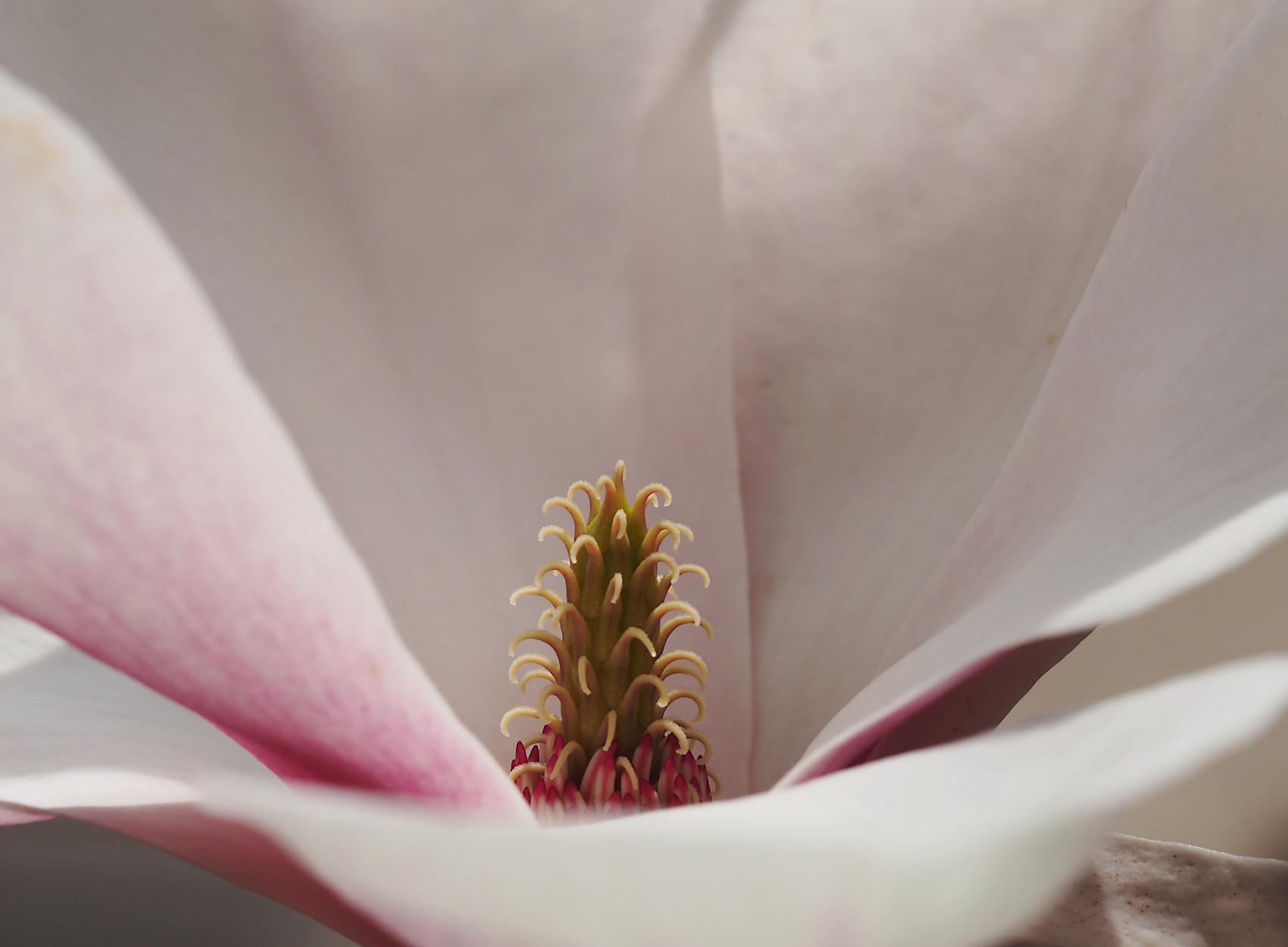 Yulan-Magnolie01 (Magnolia denudata)