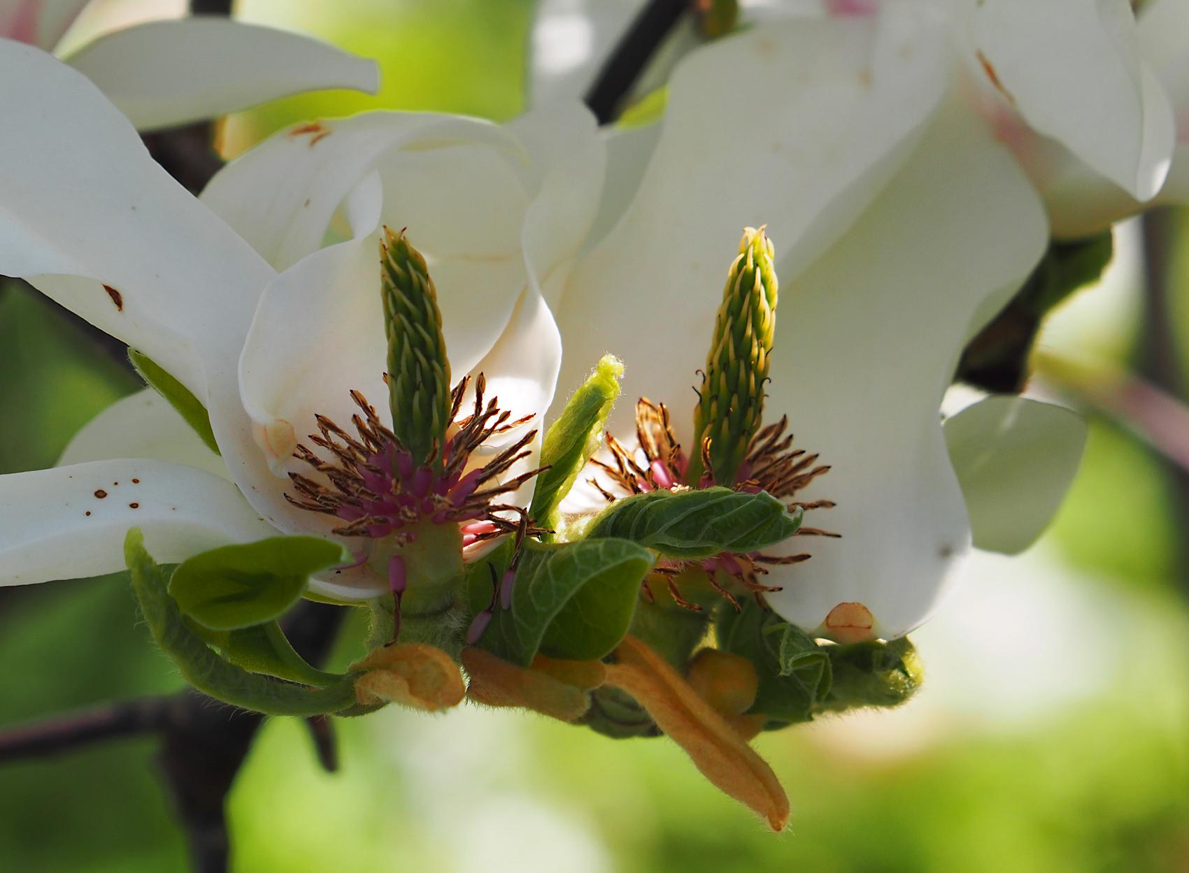 Yulan-Magnolie02 (Magnolia denudata)