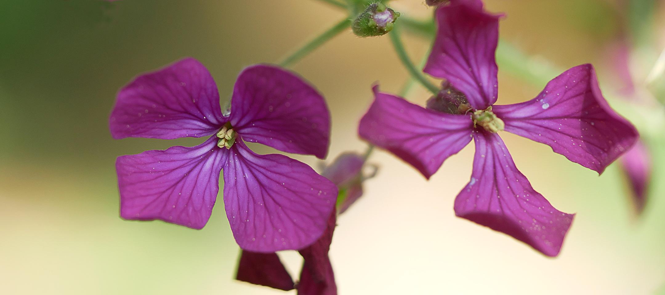 Mondviole (Lunaria annua)