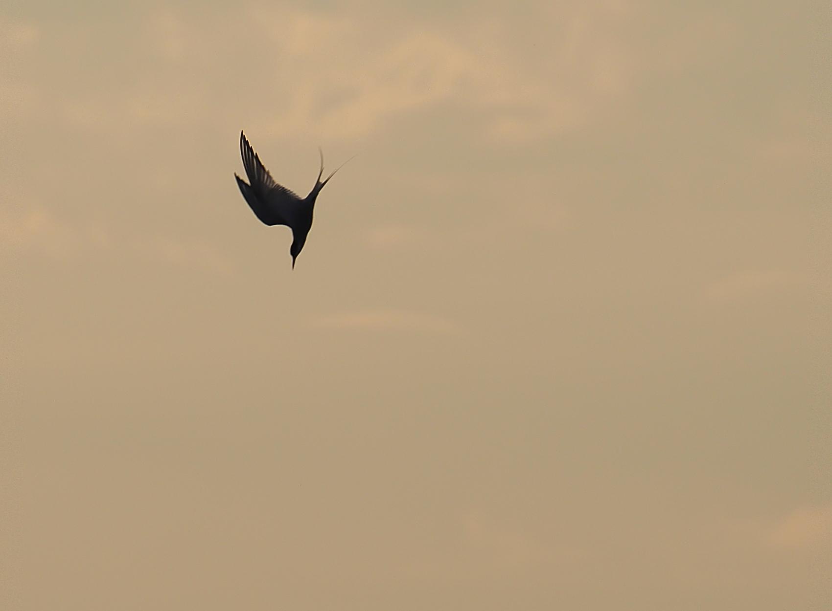 Flussseeschwalbe01 (Sterna hirundo)