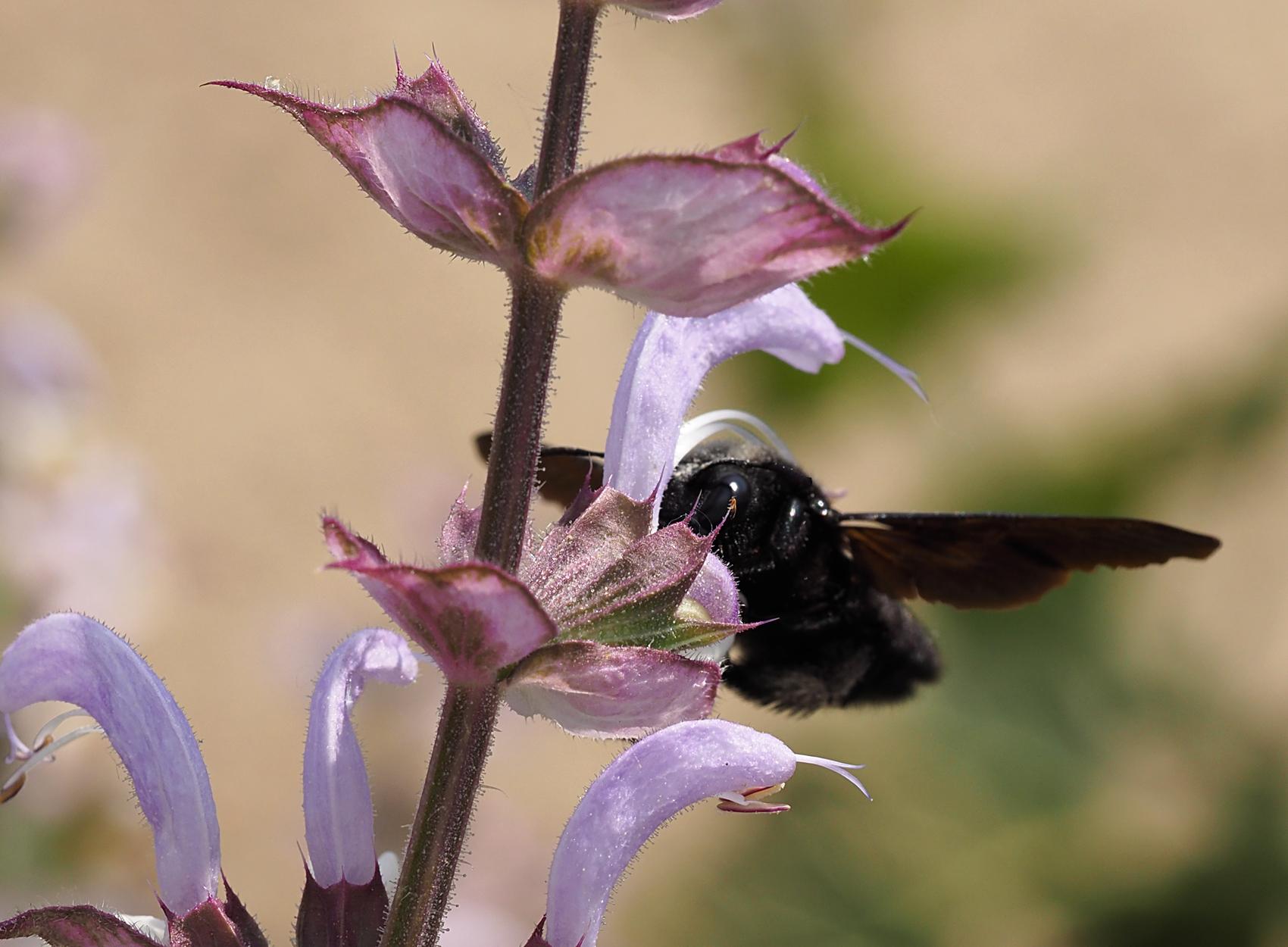 Blauschwarze Holzbiene03 (Xylocopa violacea)
