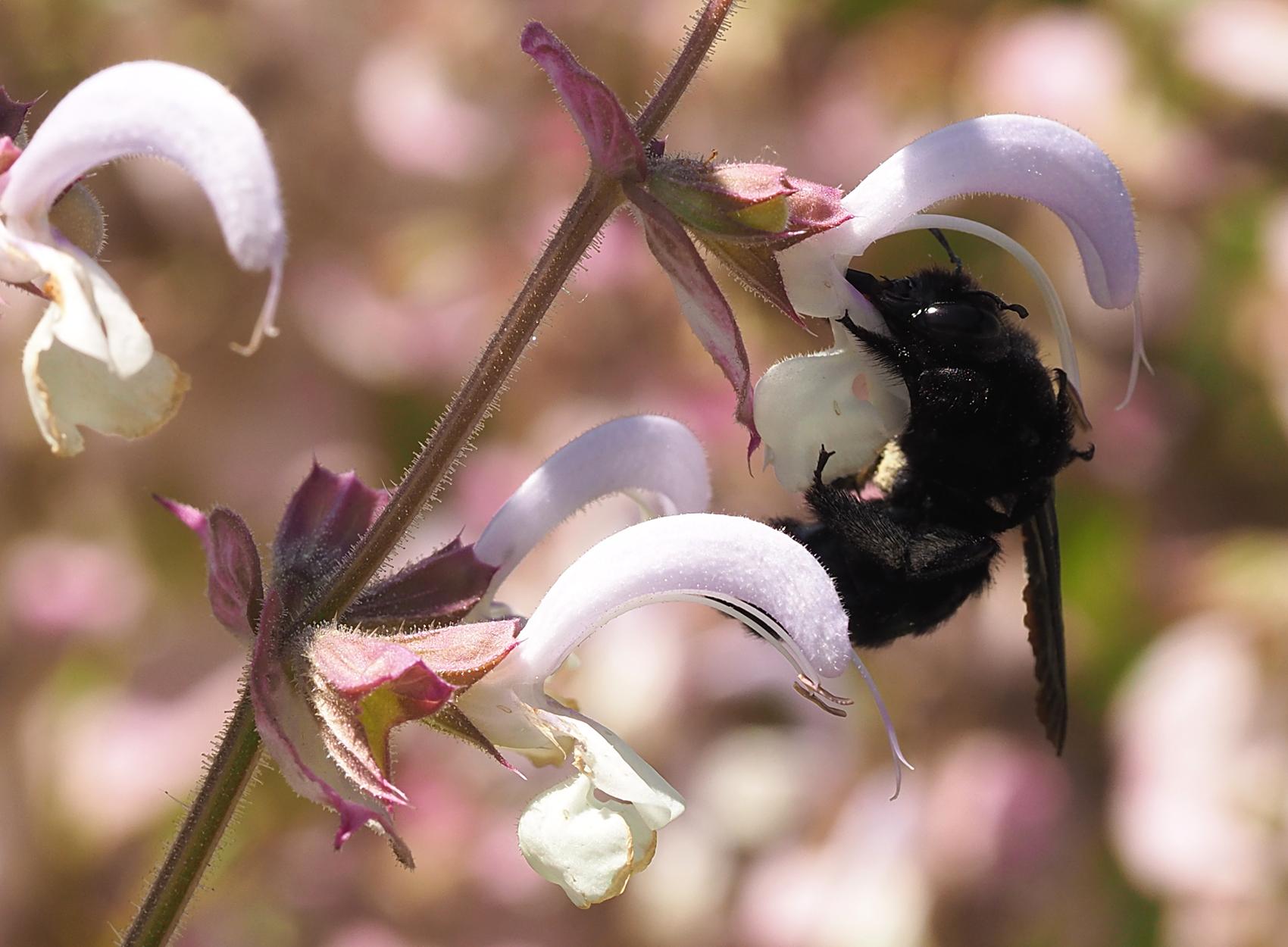 Blauschwarze Holzbiene07 (Xylocopa violacea)