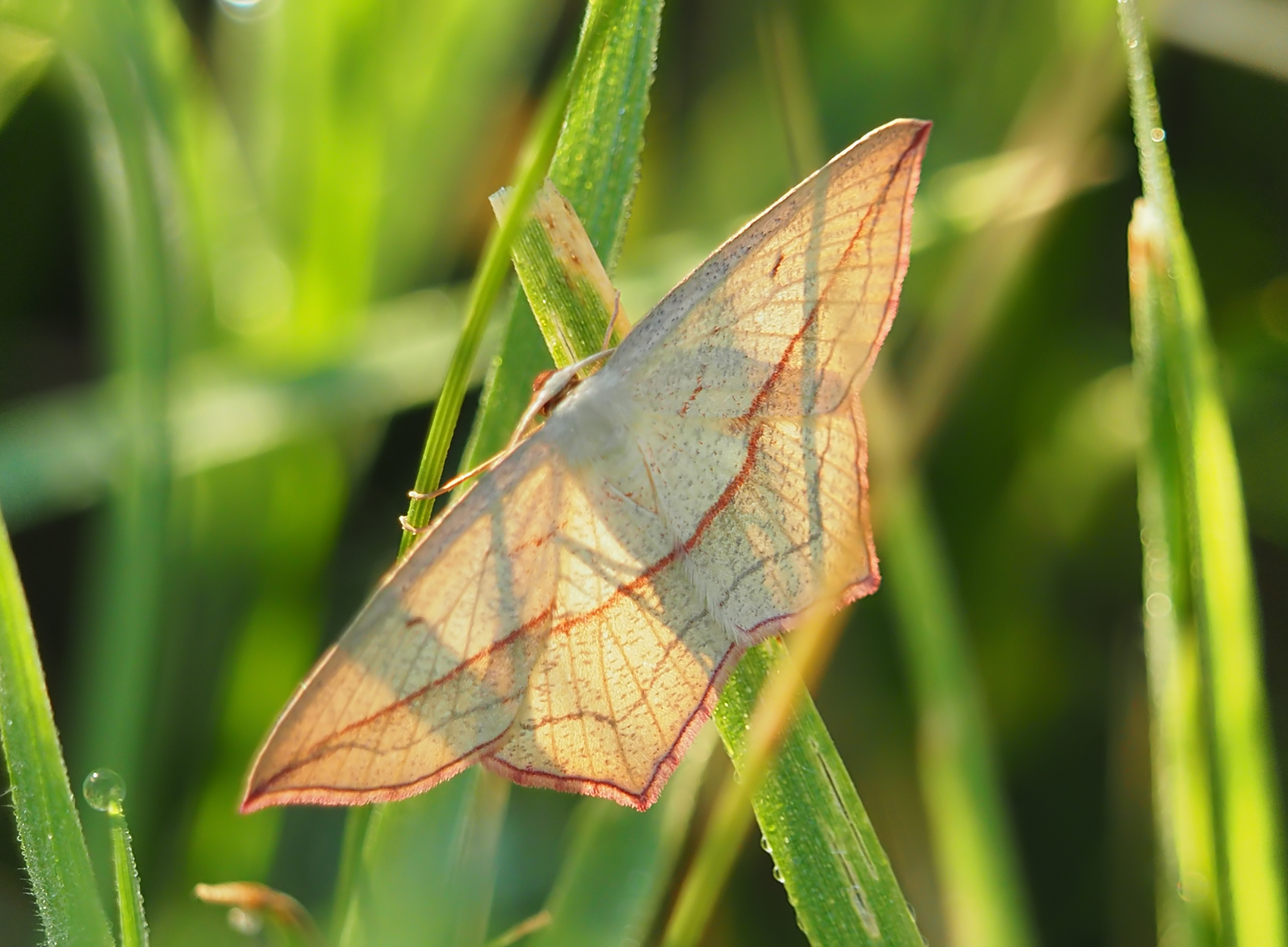 Ampfer-Spanner (Timandra griseata)
