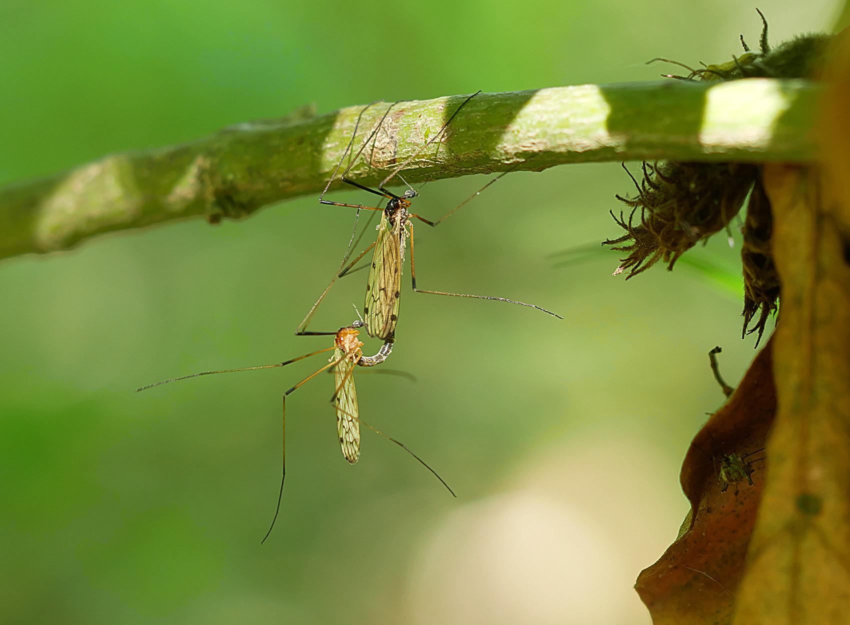 Stelzmücken (Limnophila schranki)