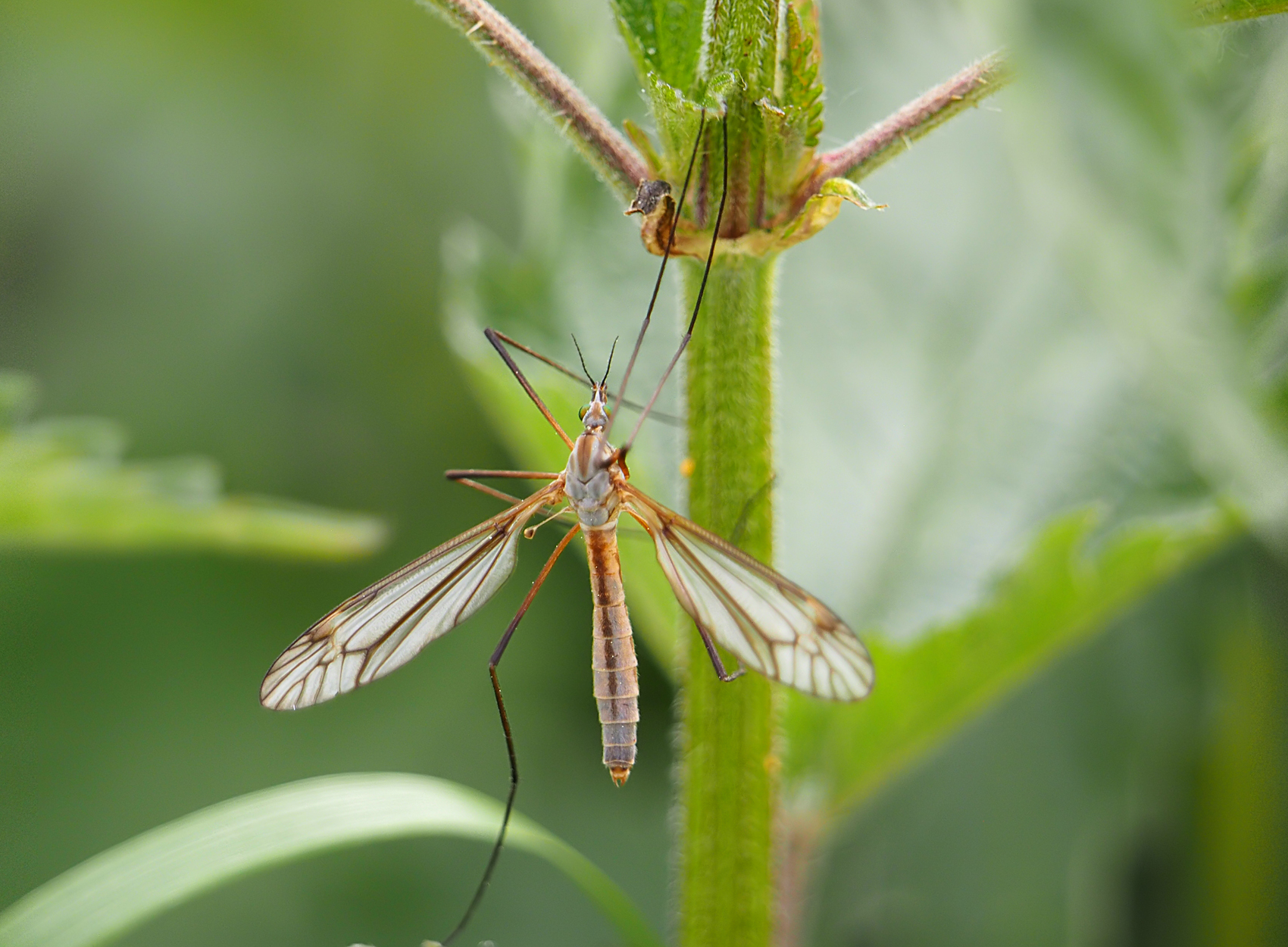 Frühlingsschnake (Tipula vernalis)