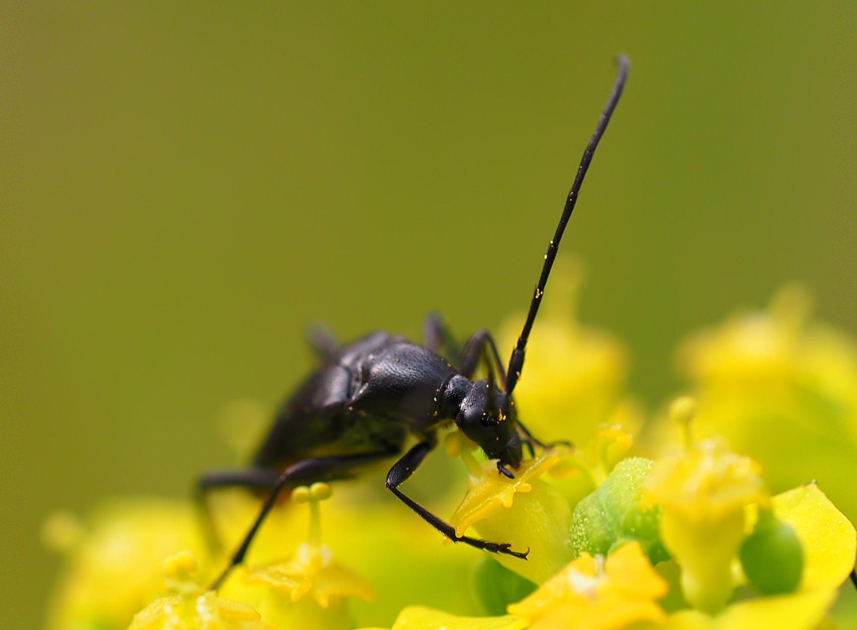 Schwarzer Schmalbock01 (Stenurella nigra)