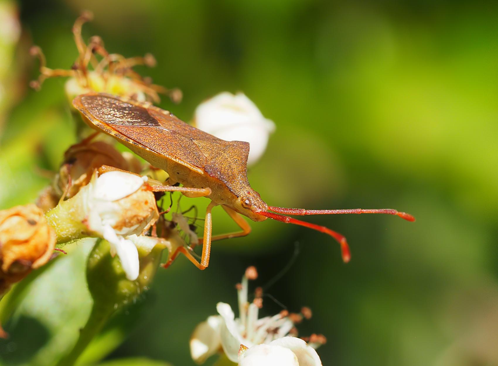 Lederwanze01 (Coreus marginatus)