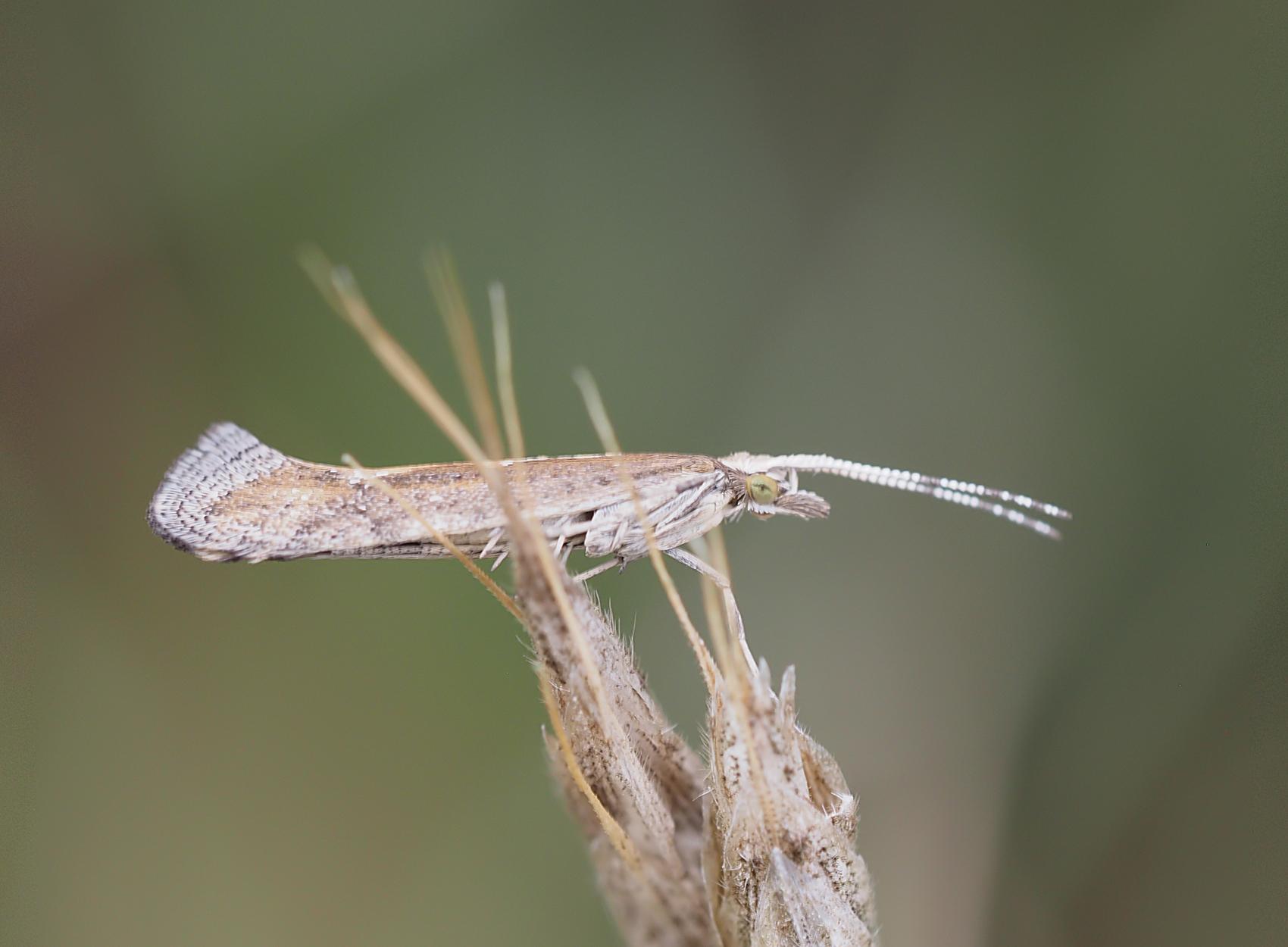 Kohlmotte (Plutella xylostella)