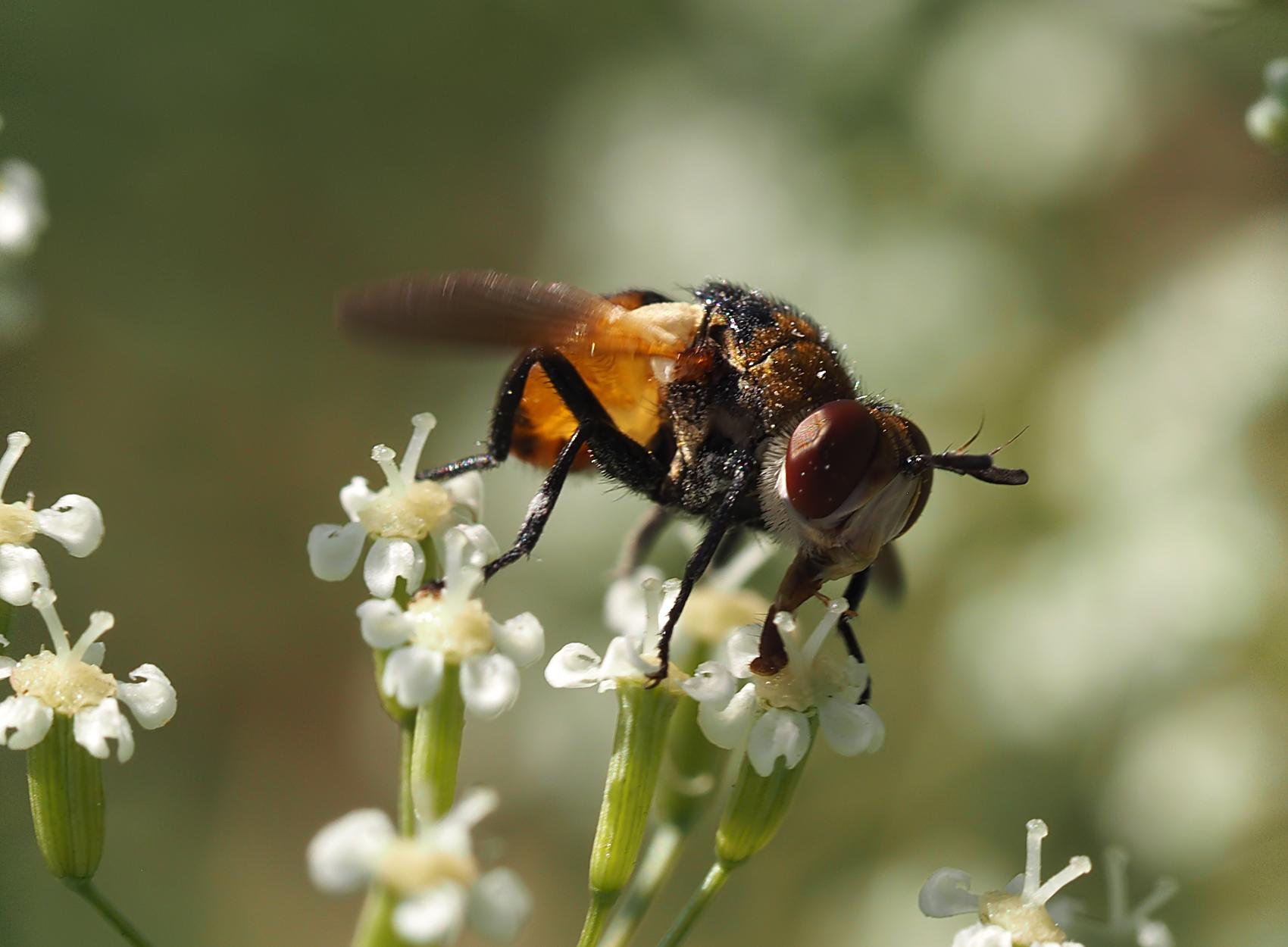 Breitflügelige Raupenfliege (Ectophasia crassipennis)