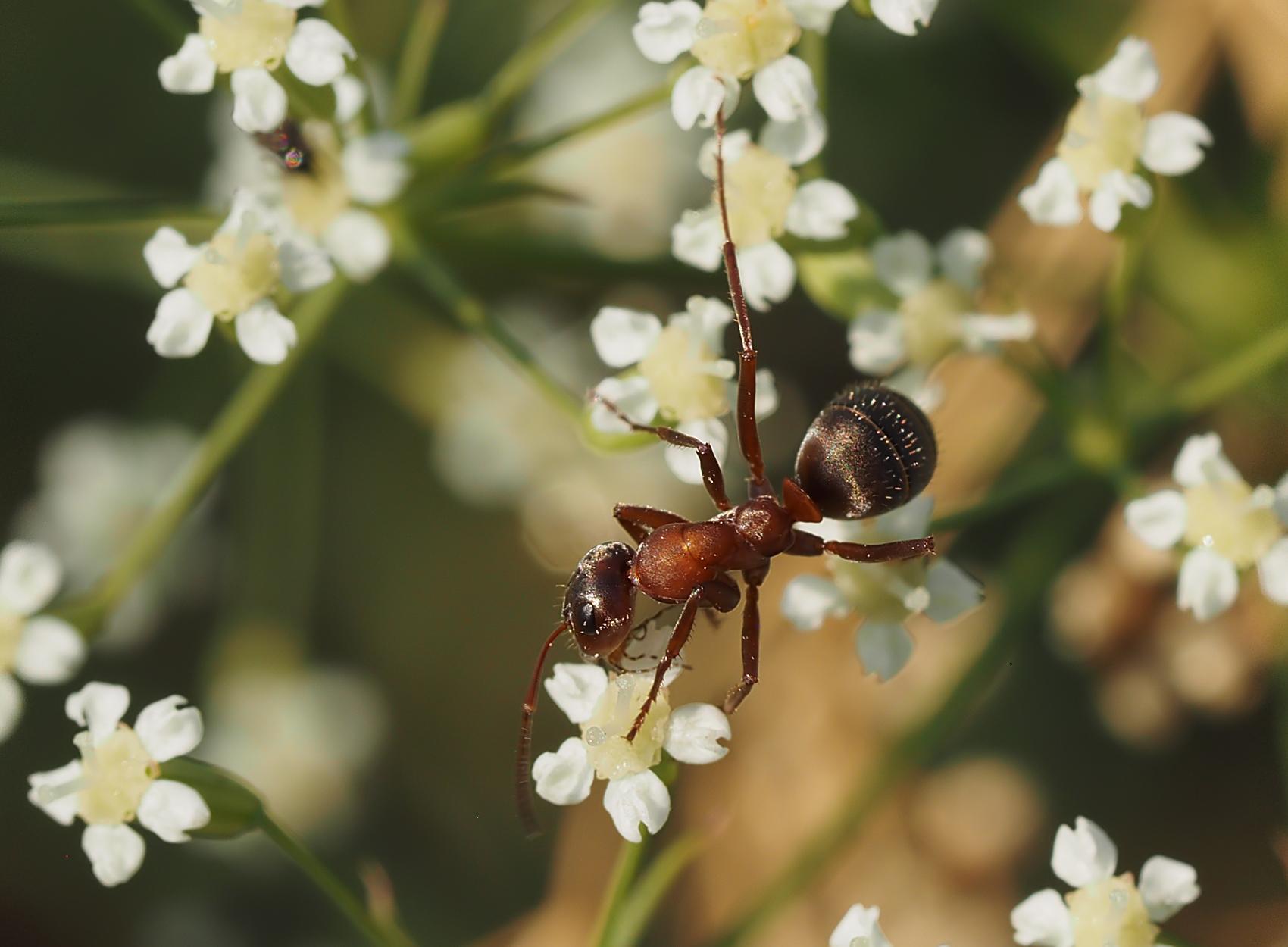 Rote Waldameise04 (Formica rufa)