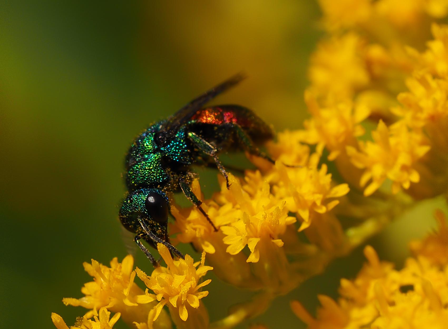Goldwespe (Chrysis austriaca)