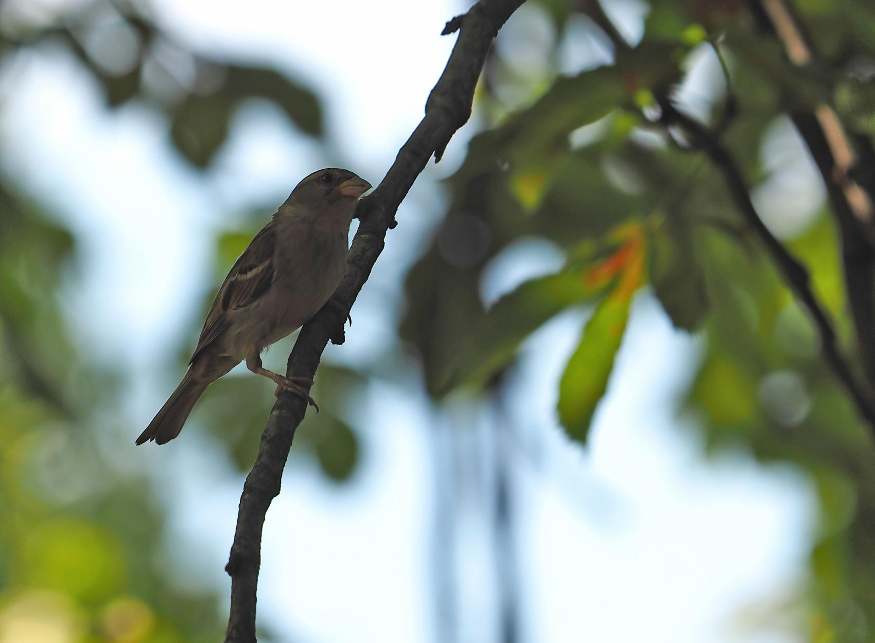 Bergfink (Fringilla montifringilla)