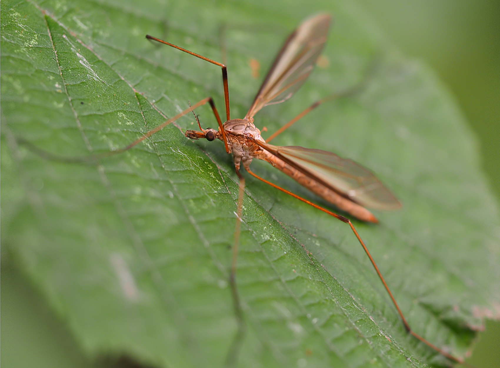 Wiesenschnake (Tipula paludosa)
