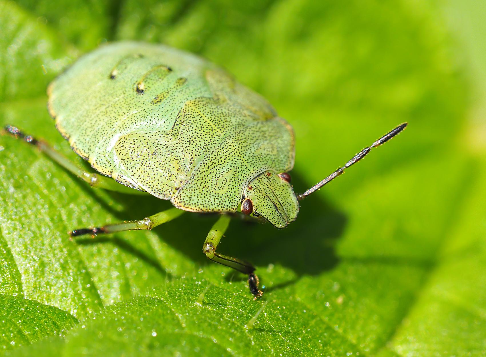 Grüne Stinkwanze (Polomena prasina)
