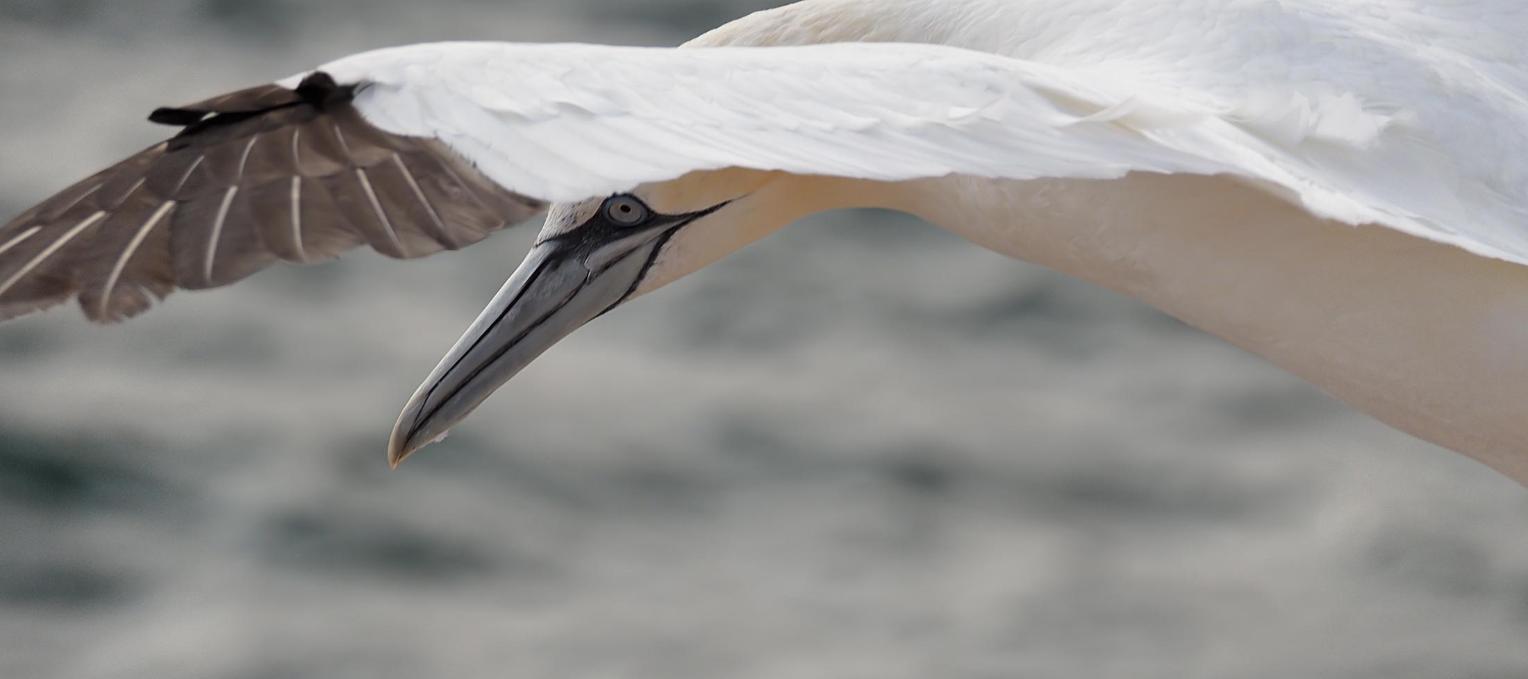 Basstölpel im Flug01 (Morus bassanus)
