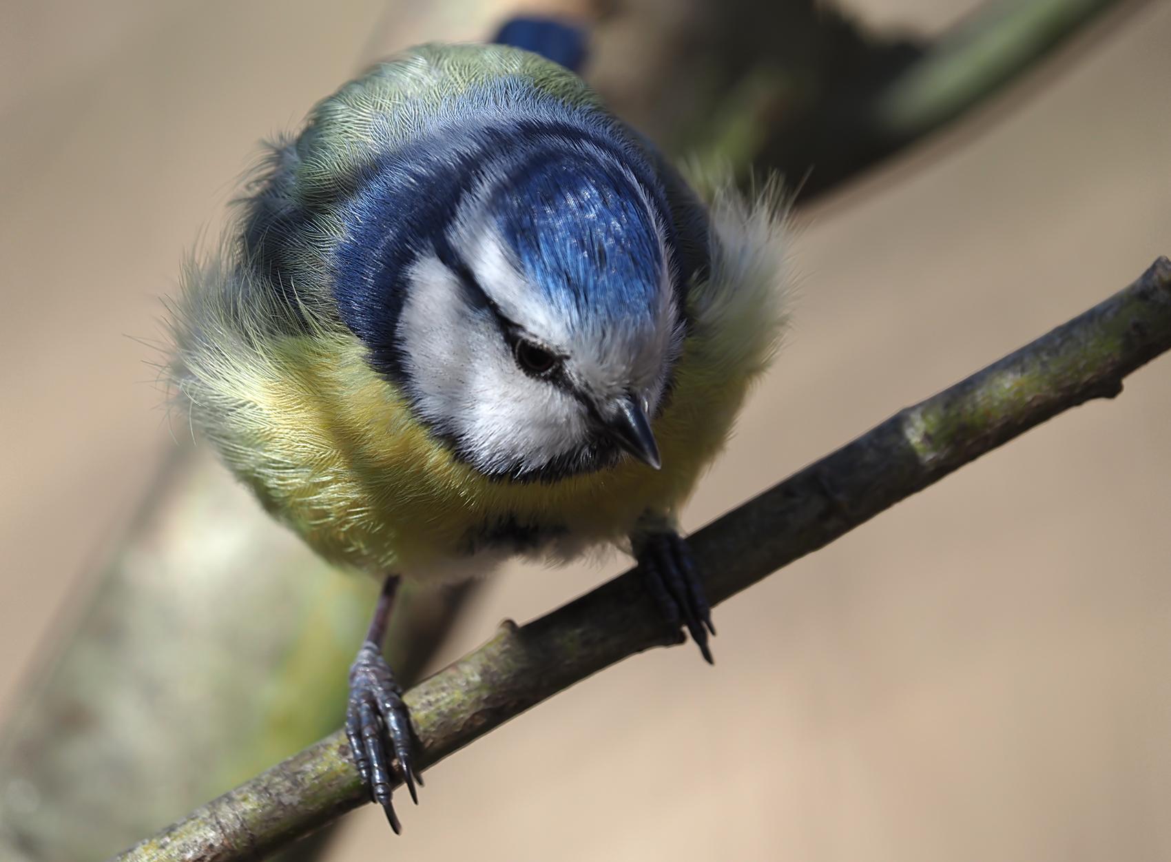 Blaumeise03 (Cyanistes caeruleus)