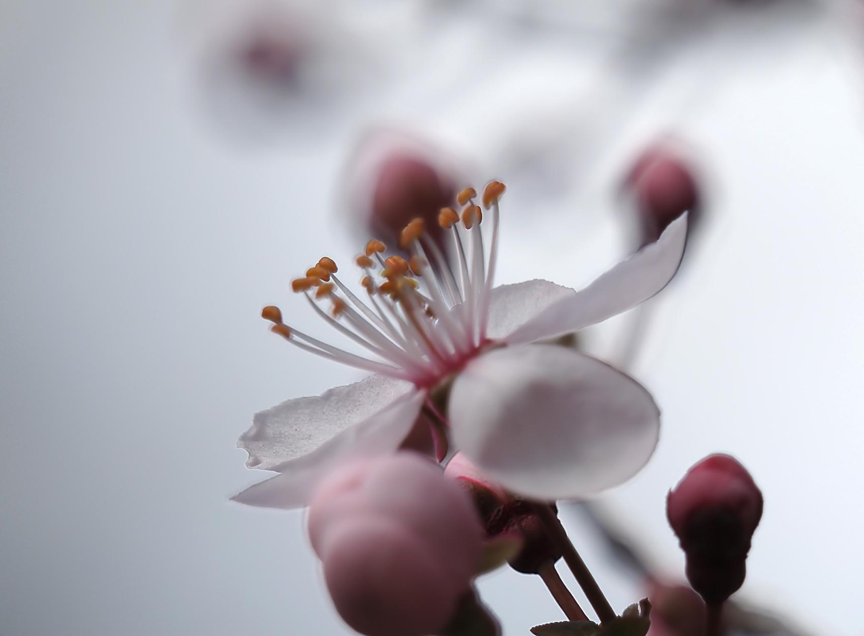 Pfirsich (Prunus persica)