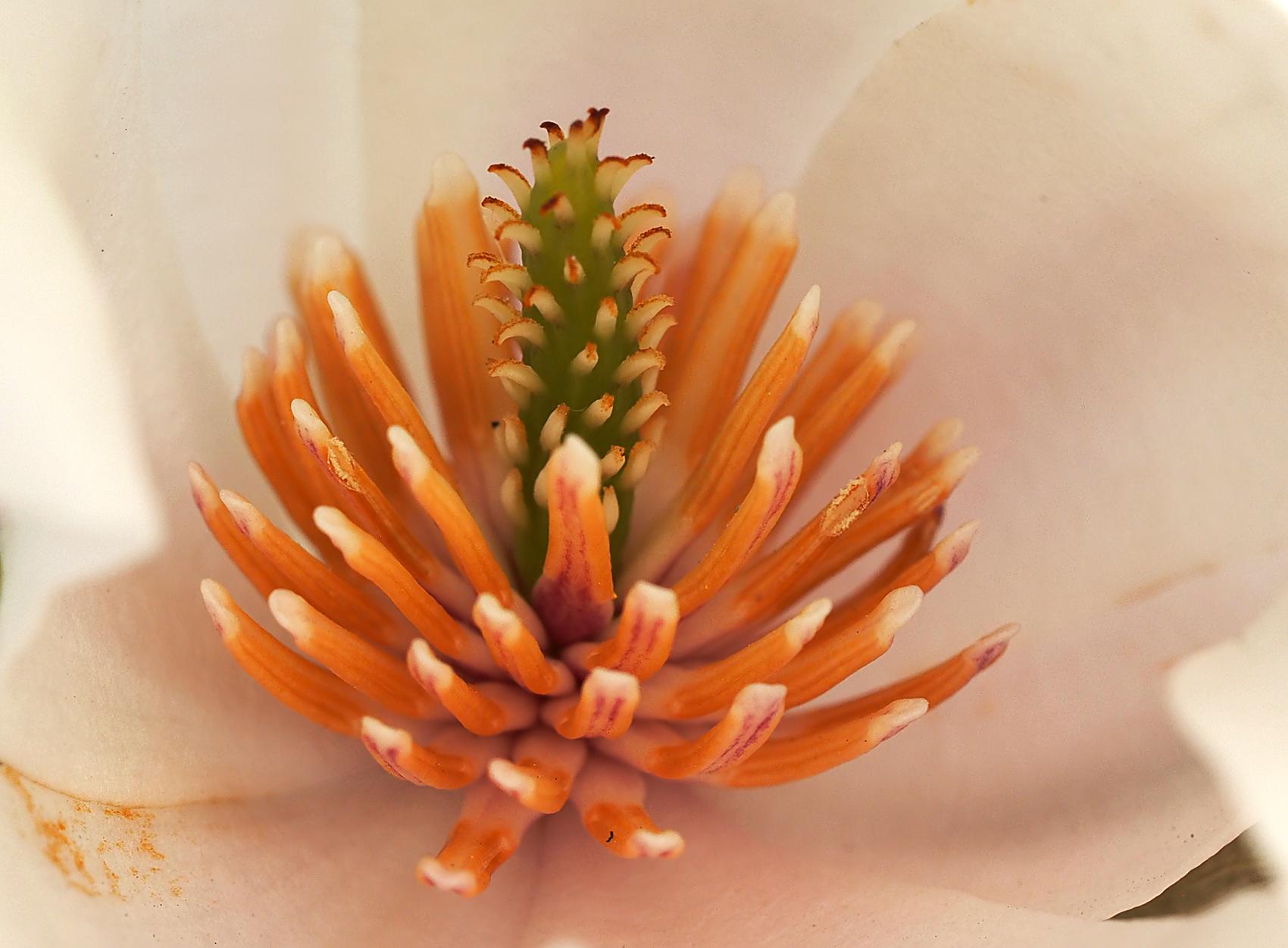 Immergrüne Magnolie (Magnolia grandiflora)